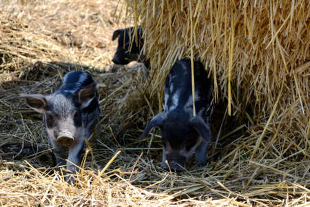 wooly: Piglets of wild boar - Mangalitza pigs Stock Photo