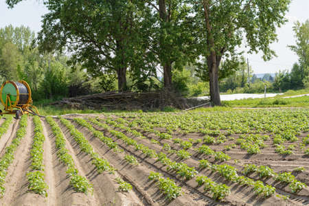tuberosum: Potato plantation of vegetable farmers in the sun Stock Photo