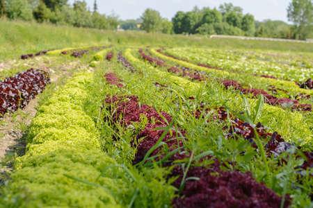 looseleaf: colorful salad mix on large plantation of vegetable farmers Stock Photo
