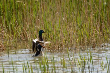 cock duck: beautiful wild duck flies off the water Stock Photo