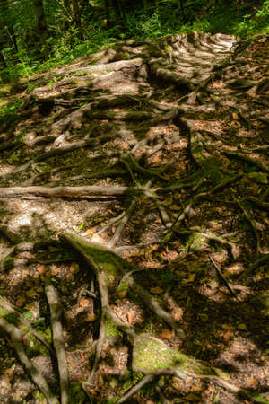 wind down: Root system of tree roots at the surface Stock Photo