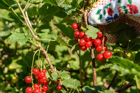 bear berry: Red currants are harvested - Closeup Stock Photo
