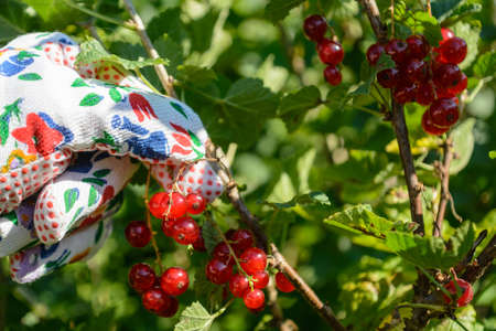gardening gloves: With gardening gloves Red currants are harvested - Closeup