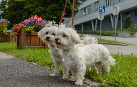 Two Maltese dogs are running on the Leash Stock Photo
