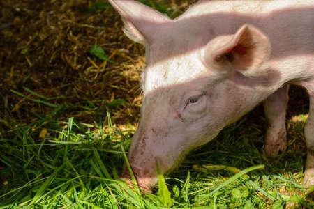 Pig eats with enjoyment fresh grass - Portrait Stock Photo