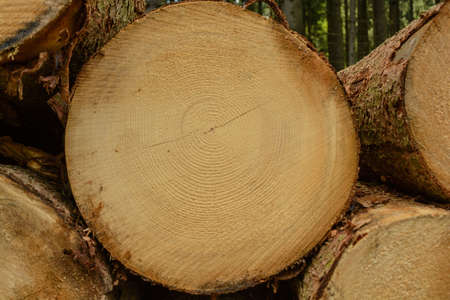 sustained: The cut surface of a spruce growth rings are clearly visible - Roundwood Closeup Stock Photo