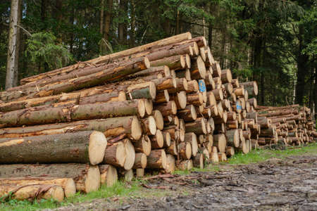 face in tree bark: recut forest trees lying on a pile ready for collection