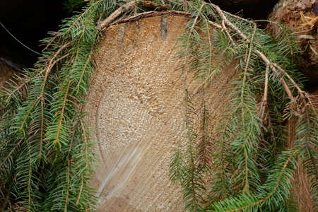 treetrunk: The cut surface of a spruce tree growth rings are visible - Forestry