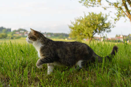 Domestic Cat sneaks into the meadow like a purring cat