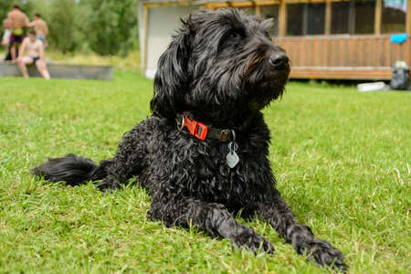 Black middle Schnauzer is attentive to the meadow - dog portrait