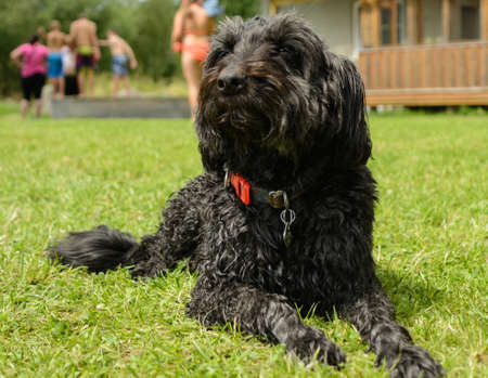 Faithful black middle Schnauzer is attentive to the meadow - dog photo Stock Photo