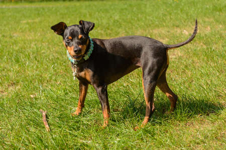 Dwarf pinscher on the meadow looks attentively to the camera Stock Photo
