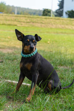 staunch: Attentive dwarf pinscher sits on the meadow - dog portrait