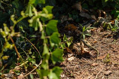 Green nimble lizard in a garden - wild animal