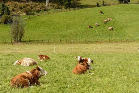 meadowland: Some cows graze on a lush green meadow in hilly landscape