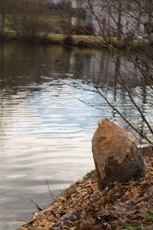 Forestry damages from a beaver - traces of a rodent