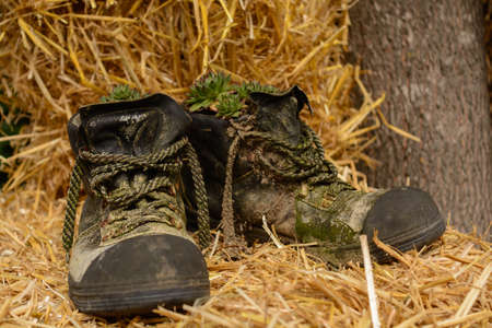 Old hiking boots with succulents on straw balls as decoration