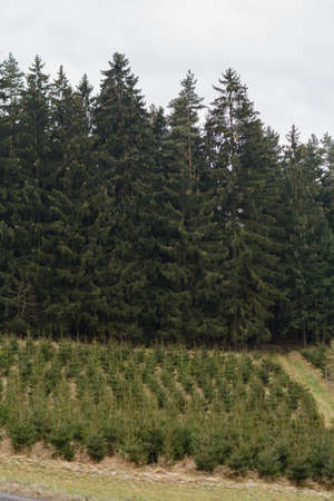 Replanted young forest for forestry - monoculture spruce