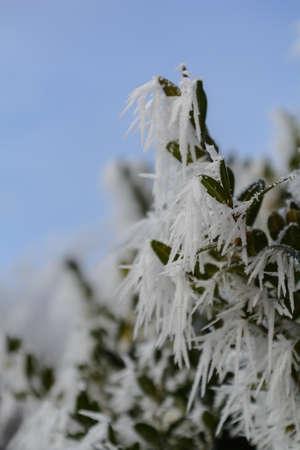 Closeup of a beech tree in hoarfrost - depth of field Stock Photo