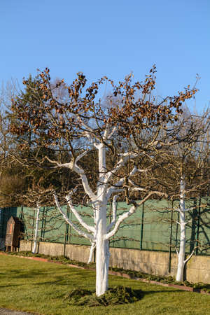 Lime paint protects fruit trees from frost damage - close-up Stock Photo