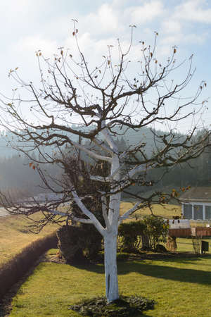 Fruit tree is protected against frost damage with limescale