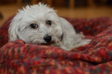 White dog lying in his big dog bed - Havanese