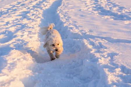 staunch: Small white dog running in snow - Havaneser