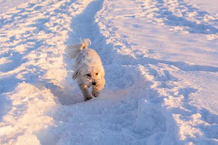 Small white dog running in snow - Havaneser