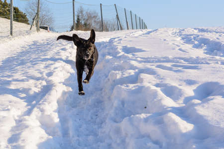 staunch: Black dog running fast in the snow