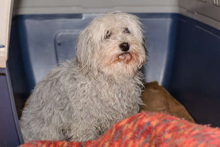 Small white dog after bathing in his dogs box - Havanese Stock Photo