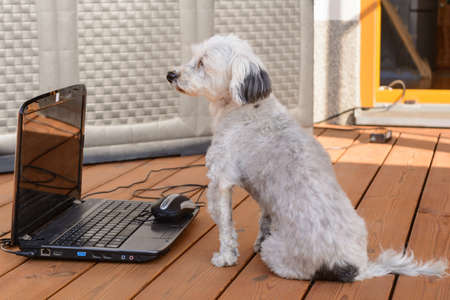 curiously: White Havanese sitting curiously in front of a laptop