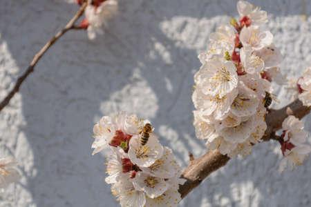 Avid bee impollina un albero di albicocca in fiore - vicino Archivio Fotografico - 77303661