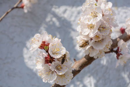 Busy honeybees pollinating a apricot tree - close-up Banco de Imagens