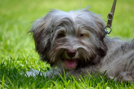 Gray Havanese is leaned in the meadow Stock Photo