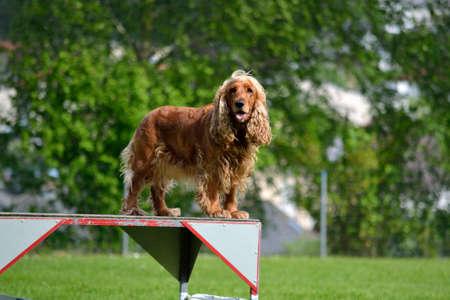 Rescue dog breed English Cocker Spaniel during training Stock Photo