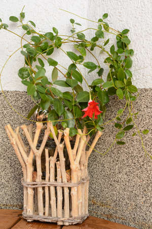 dipladenia: Rustic wooden flower over-pot self-tufted with flowering mandevilla Archivio Fotografico