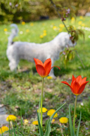 Red-flowered tulips and dandelion, in the meadow stands a white Havanese