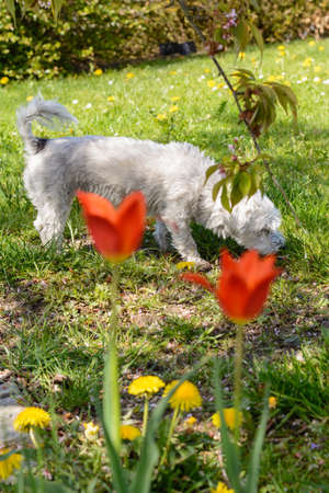 Small white dog sniffs in the grass, in the foreground blooming tulips