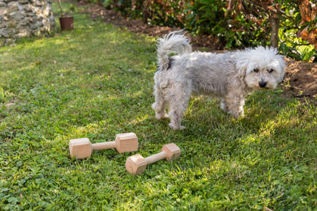 white Havanese has no interest in his dumbbell Stock Photo