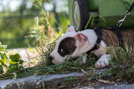 Fighting dog as a puppy lies in the meadow in front of waste paper bin