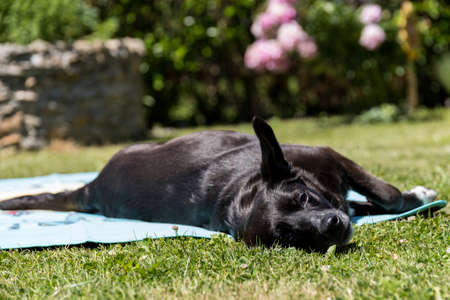 Black labrador retriever lies lazy on a bath towel in the sun Stock Photo