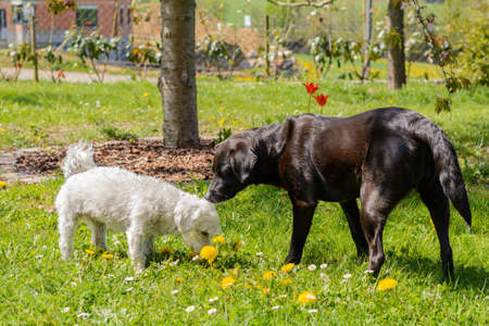Two dogs - black labrador mixing and white Havanese in the garden