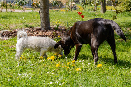 Two dogs in a garden - white Havanese and black labrador mix Stock Photo