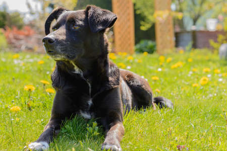 Black attentive dog lies in the meadow and enjoys the sun