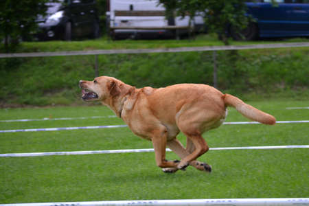 Large brown dog in full running - dog sport Stock Photo