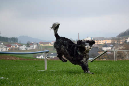 Dog lands after a jump over an obstacle