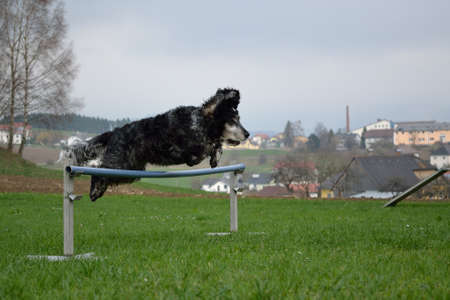 Dog jumps at dogs place in broad sport over an obstacle