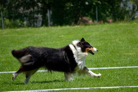 dog school: Australian Shepherd runs dog sledding - dog sport Stock Photo