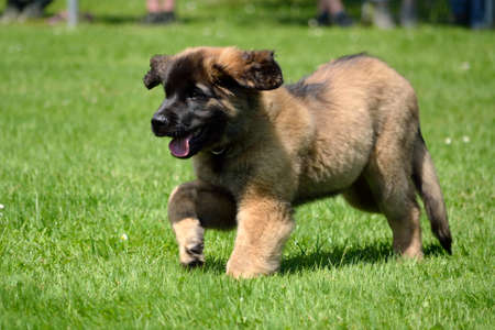 Brown Leonberger dog puppy running in the green meadow