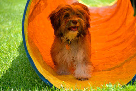 Havanese puppy running through a tunnel for dogs - close-up